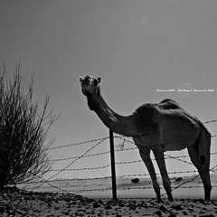 HFF Camel (Fortunes2011. Closure of 6 years) Tags: square squareformat getty 55 gettyimages 5x5 noborder zwartenwit  sortoghvid   nikonblackandwhite photoscape  schwarzundweis nikoncoolpixl120 fortunes2011 withoutborder animalswildcamelshffhappyfencefridayhappyfridayfenceanimalportraitwildlifedesertmiddleeastdubaiuae macropixcom