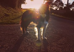 Guardian (Tinina67) Tags: light summer dog france backlight evening cooper tina bordercollie challenge odc gers ourdailychallenge tinina67 aumarron