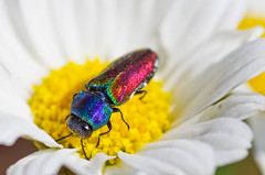 anthaxia ignipennis (safran83) Tags: jewelbeetle