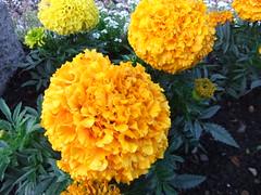 flower nature fleur yellow marigold