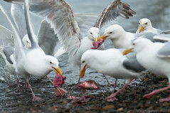 DSC_9123s (savillent) Tags: life summer sky seagulls canada water birds nikon marine wildlife gulls flight july nwt northwestterritories saville 2012 tuktoyaktuk d300s