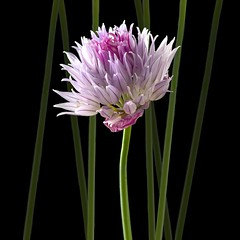 Chive (Explore) (Pixel Fusion) Tags: flower nature flora nikon ngc explore npc chives herb d7000