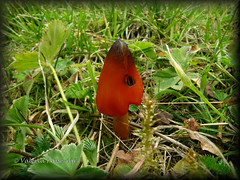 Red Mushroom (Hygrophorus conicus) (ledval) Tags: life trees red nature mushroom alberi mushrooms natura funghi botany piante botanica vita