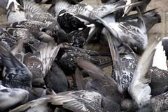 Ukraine Village (drew*in*chicago) Tags: chicago bird feast pigeon 2012