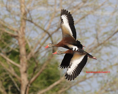 Black Bellied Whistling Ducks In Flight Wakodahatchee Wetlands (kevansunderland) Tags: bird canon duck migration puddleduck birdinflight floridawildlife divingduck duckinflight floridabirds bej flickraward ubej alittlebeauty coth5 migratoryduck blackbelliedwhistlingduckinflight nonmigratoryducks