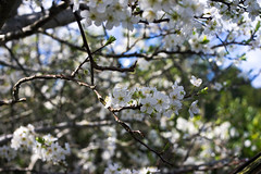 dreams of tokyo (Key Foster) Tags: flowers white snow tree leaves cherry spring blossom bokeh plum auckland twigs