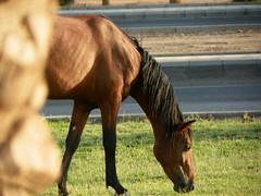 (Mamdouh almalki) Tags: horses horse arabian