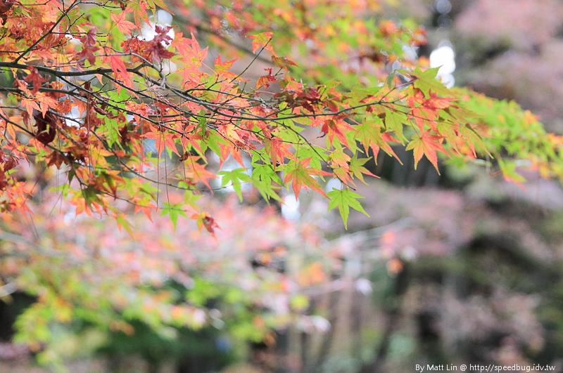 福壽山農場楓紅-3