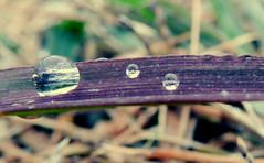 Purple Rain (Venusian Lady) Tags: detail macro nature water grass rain beads droplets drops purple raindrops blade waterdrops