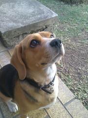 Where is my cookie? (fdo_ambriz) Tags: dog beagle dogs puppy puppies perro cachorro perros beagles cazador sabueso