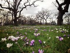 Crocus Meadow (H McCann) Tags: park flowers field spring bc purple blossom meadow crocus victoria vancouverisland bloom summitpark garryoak yyj uploaded:by=flickrmobile flickriosapp:filter=nofilter