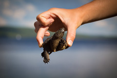 Bring your thumb just a little closer... (trouble4dan) Tags: dan hand turtle hold hamill