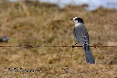 Gray Jay DSC_0530 (Ron Kube Photography) Tags: canada bird nature birds fauna nikon jay gray alberta ornithology corvid grayjay perisoreuscanadensis southernalberta d7100 globalbirdtrekkers ronaldok nikond7100 ronkubephotography