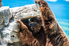 Bear (sylvester-ch) Tags: bear italien blue summer italy brown water animal rock big nikon holidays wasser flickr gross strong braun blau stein lecce tier kraft br d800 nikond800