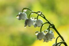 Konwalia (Siuloon) Tags: plant flower macro field pattern blossom outdoor foliage organic depth