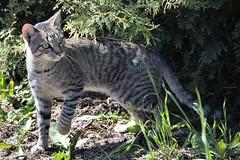 Musejger / Mouser (r.stopable1) Tags: cat tabby kater tomcat getigert greytabby graugetigert