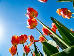 PhoTones Works #7841 (TAKUMA KIMURA) Tags: photones olympus takuma kimura 木村 琢磨 世羅郡 広島県 日本 jp landscape scenery nat 風景 景色 自然 tulip plant flower spring チューリップ 植物 花 春 木村琢磨