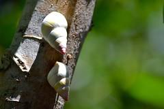 Living Jewels (bmasdeu) Tags: trees living key florida native snail hammock land largo jewel