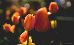 Tulip Time (pooshda) Tags: flowers flower holland festival mi zeiss bokeh michigan sony smooth 55mm tulip lakeshore tuliptime 18 lowcontrast flatcolor a7rii