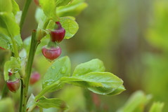 Blueberry flowers after the rain (liisatuulia) Tags: porkkala mustinkankukka