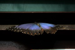 Having a nap..I guess:) (C.DeR) Tags: nature animals butterfly insect re flyinginsect cder