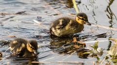 Stockenten (Zarner01) Tags: water birds animals digital canon germany deutschland eos is wasser stm efs tier vogel mecklenburgvorpommern kcken stockente gstrow 55250 canoneos750d