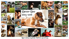 Dexter Doo, 2005 - 2016 (Uncle Berty) Tags: friends red sea portrait rescue dog pet cute beach water jack coast seaside mix sand friend funny stag peace russell cross side rip russel mini best stray rest lovely breed dexter doo minpin pinscher died furminger
