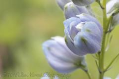 Delphinium (sue_nurmi) Tags: delphinium