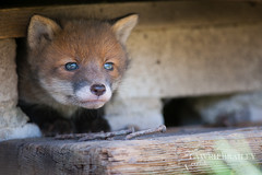 Sneaking Out (LawrieBrailey) Tags: uk blue red wild urban baby cute photography cub photo eyes nikon britain wildlife small den under shed young 300mm fox british nikkor d3 afs f40 lawrie brailey nonvr