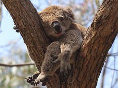 Sleepy Koala (Fong Lim) Tags: travel macro nature canon photography photos sleep wildlife australia victoria 100mm koala dslr ef lim fong f28l 60d