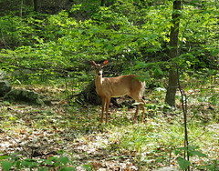 Startled (pilechko) Tags: color nature animal outdoors pennsylvania deer newhope bowmanshill
