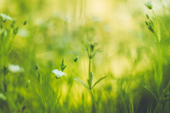 Flower Bed (Adam_Marshall) Tags: wood flowers plants adam green nature floral field forest canon landscape outdoors countryside spring warm soft bokeh marshall daisy dreamy cambridgeshire goldenhour shallowdof 50mmf18 adammarshall stereocolours eos70d