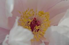 Paeonia (Sandra Kirly Pictures) Tags: flowers flower spring outdoor poland warsaw botanicalgarden warszawa paeonia ogrdbotaniczny