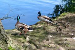 Piece and Quiet (Deida 1) Tags: uk bird duck cheshire mallard drake reedsmere