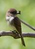 EasternPhoebe_53F5198 (~ Michaela Sagatova ~) Tags: nature easternphoebe flycatcher birdphotography michaelasagatova