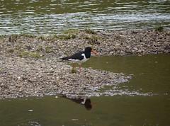 Austernfischer (a-r-a-55) Tags: birds animals scotland tiere schottland glenlyon austernfischer grosbritannien