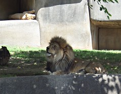 Lion (Theophilus Photography) Tags: louisvillezoo zoo wildanimals cage vacation trip lion shade rest
