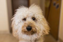 ZON_9802 (Zonnie) Tags: dogs animals closeup 35mm nikon dof f14 sigma full frame 700 sb d600