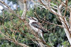 Sunday Kookaburra (Gillian Everett) Tags: queensland kookaburra
