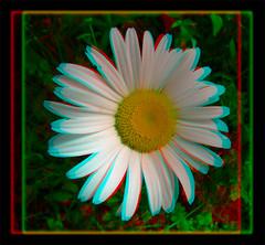 Daisy 1 - Anaglyph 3D (DarkOnus) Tags: wild flower macro closeup lumix stereogram 3d weed pennsylvania anaglyph panasonic stereo daisy bloom stereography buckscounty dmcfz35 darkonus