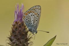 blauwtje (Agnes Van Parijs) Tags: macro butterfly papillon vlinder blauwtje