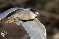 Black-crowned Night Heron - 14 (RGL_Photography) Tags: heron birds us newjersey unitedstates wildlife birdsinflight oceancity ornithology mothernature rookery bif blackcrownednightheron nycticoraxnycticorax wadingbirds capemaycounty migratorybirds wildlifephotography nikond500 greateggharborbay littlefingerchannel staintonmemorialcauseway nikonafs200500mmf56eedvr