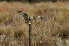 Short-eared owl lands on post (P_1_B) Tags: bird nature birds wildlife sony birding sigma owl birdwatching cambridgeshire owls rspb shortearedowl sigma150500 sonya77 rspbfendraytonlakes slta77 slta77v sonya77v