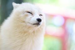 Inari (Reinfox) Tags: highkey bokeh sony7ii fox mammal redfox portrait platinumfox zaofoxvillage animal ilce7m2 miyagizaokitsunemura vulpes vulpesvulpes 7ii