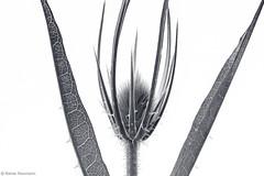 Wiesenblume 4A b&w (rainerneumann831) Tags: blackwhite natur pflanze blume linien wiesenblume focusstacking