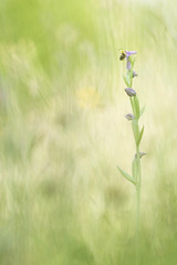 ophrys apifera (YannW) Tags: flower nature fleur canon bokeh 300mm orchide ophrys 6d sauvage mayenne apifera