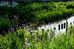 16Yamada Pond Park (anglo10) Tags: flower japan