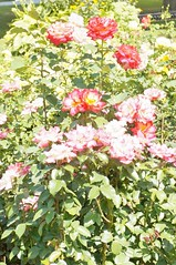 11816333_10153099676157076_1723164048356353093_o (jmac33208) Tags: park new york roses rose garden central schenectady