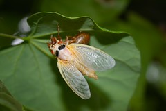 """insects and spiders"",   NEW BORN RED EYED CICADA   MDC  IMG_6888 (edwind21) Tags: insectsandspiders"