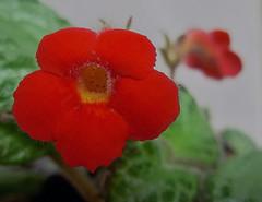 Flor (Sérgio Vasconcellos) Tags: brazil flores verde brasil flora natureza flor flôr flôres